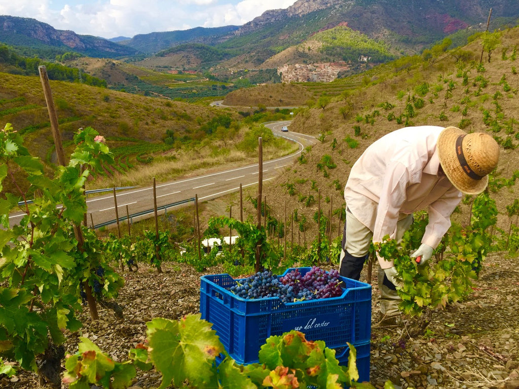 Harvest in Priorat vineyards, Catalonia, Spain