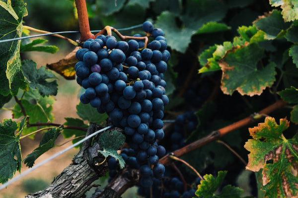Touriga Nacional Wine Grape