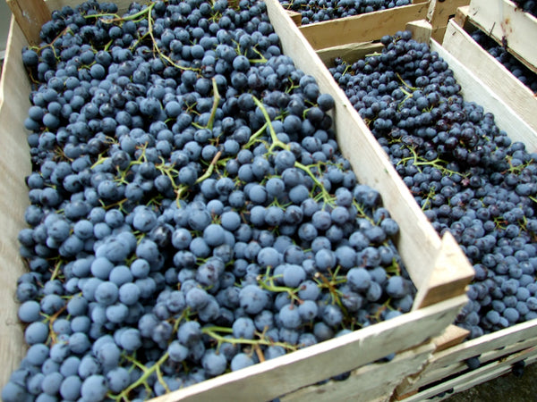 Vranac Grapes at Harvest