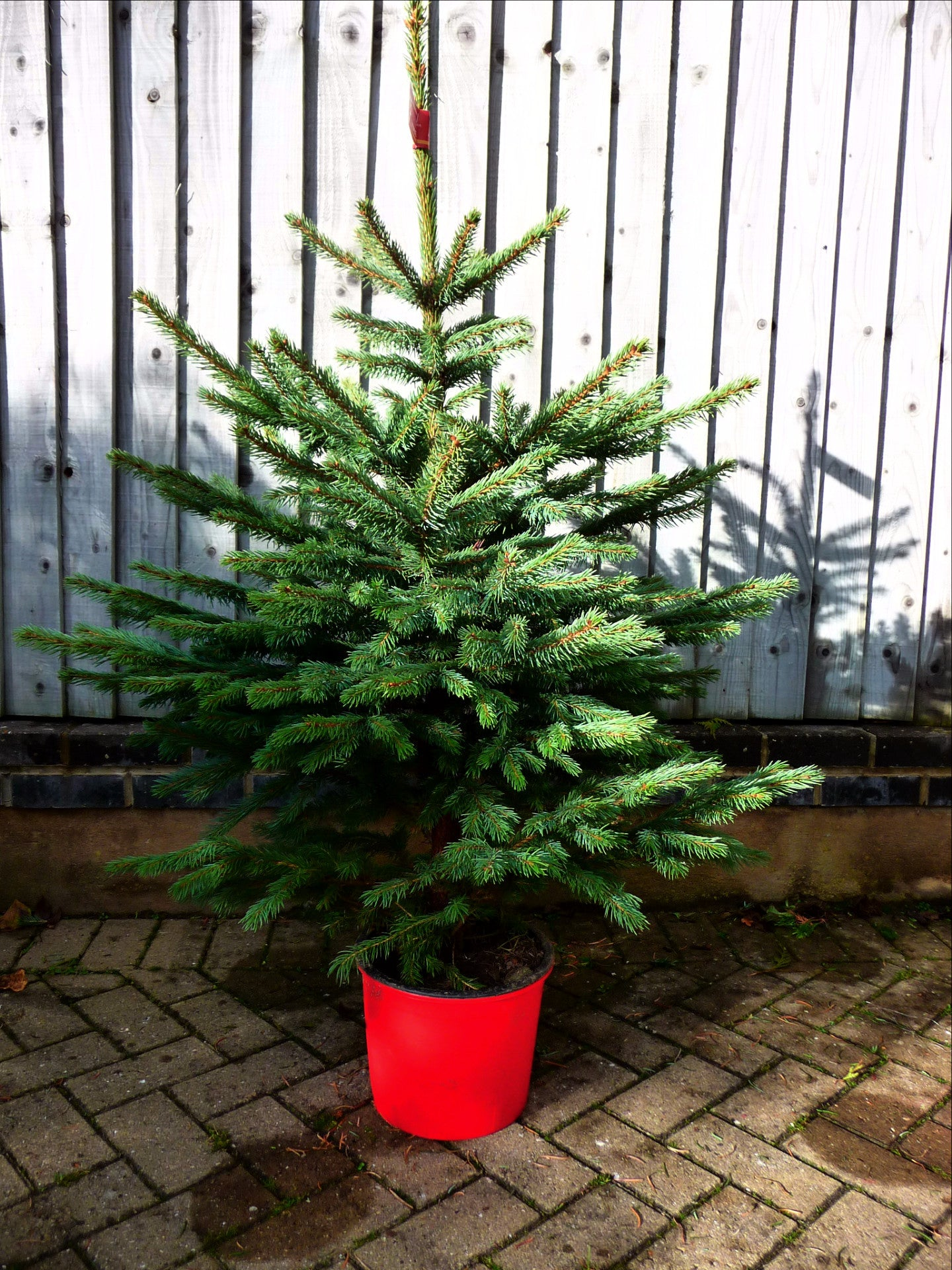 #4 foot Pot Grown Nordman Fir