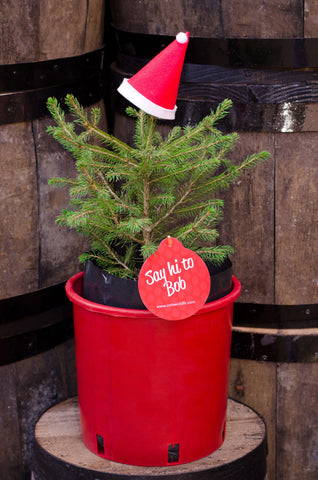 Bob -  Pot Grown Norway Spruce