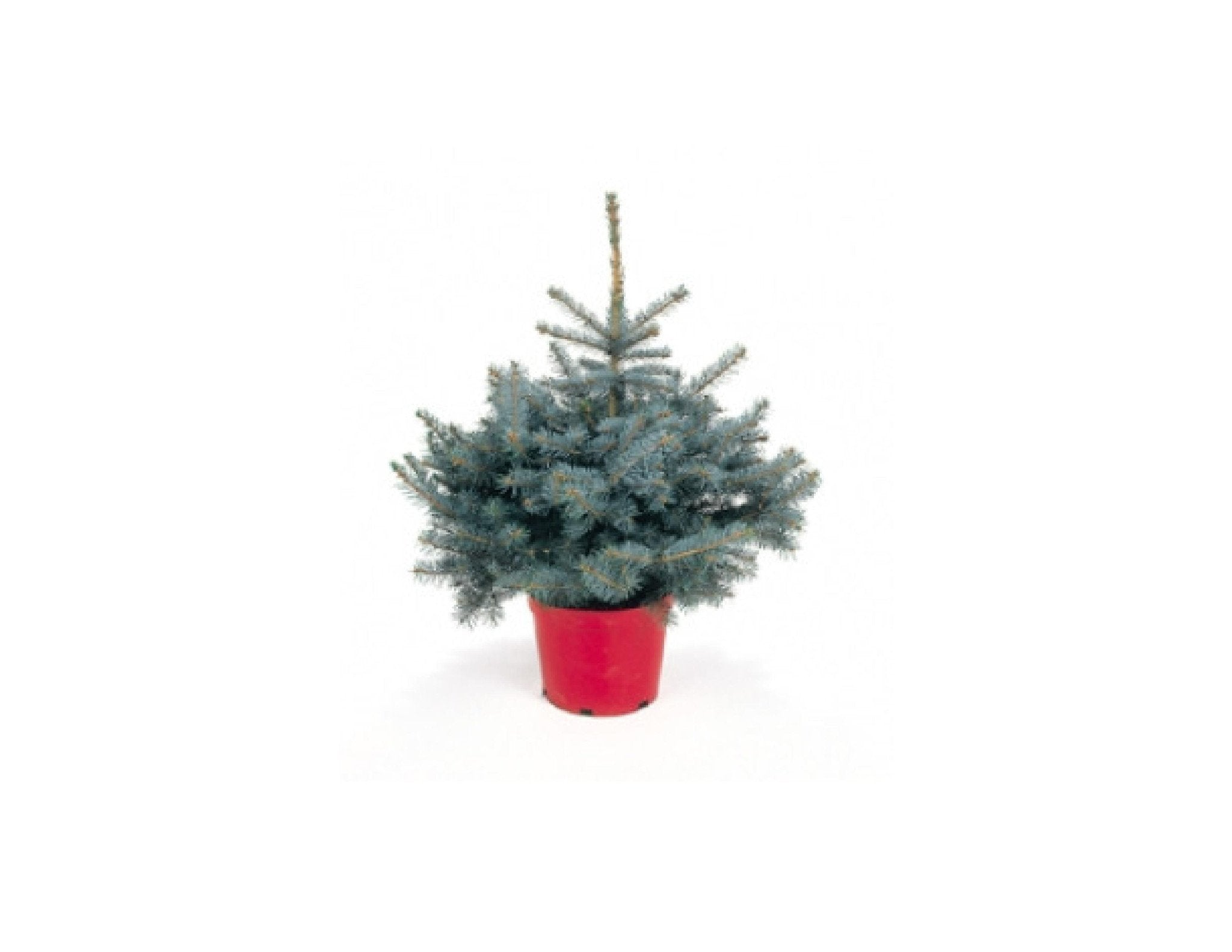 #2  foot Pot Grown Blue Spruce