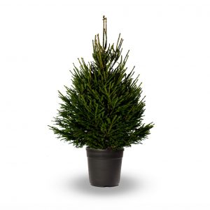 #2 foot Pot Grown Norway Spruce
