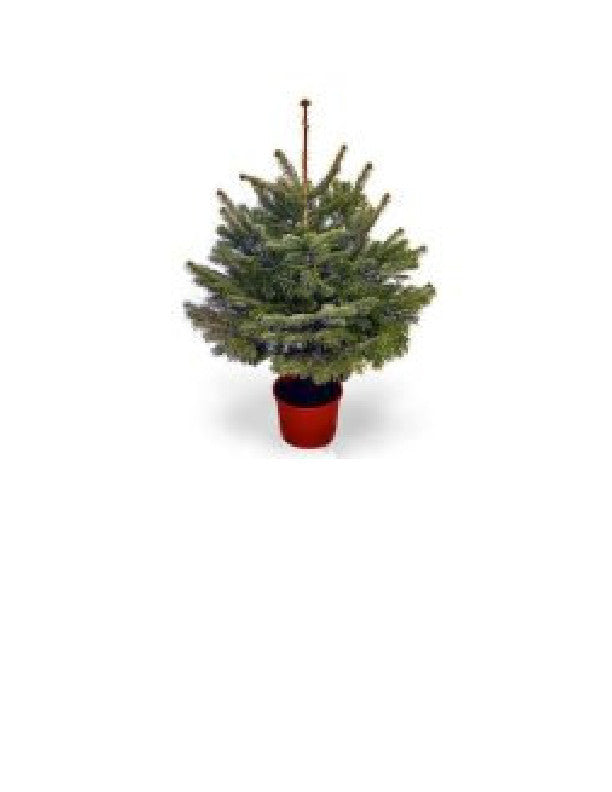 #3  foot Pot Grown Nordman Fir