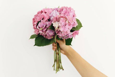 Hand holding pink and purple hydrangea