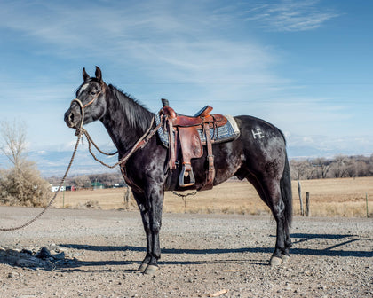 #14 Ringo 3 year old AQHA gelding