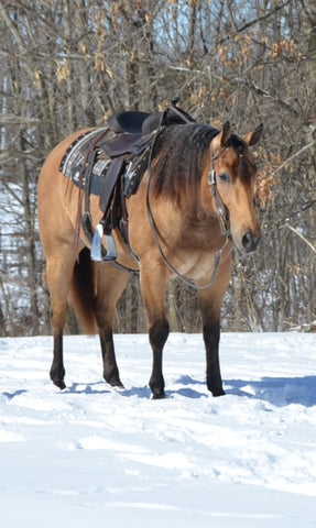 #10 Pumpkin 4 year old AQHA Gelding