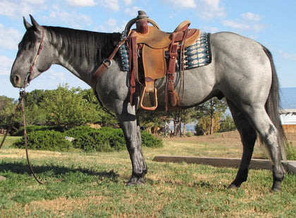 #35 Smoke 5 year old AQHA gelding