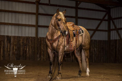 #51 Chocolate 6 year old AQHA gelding
