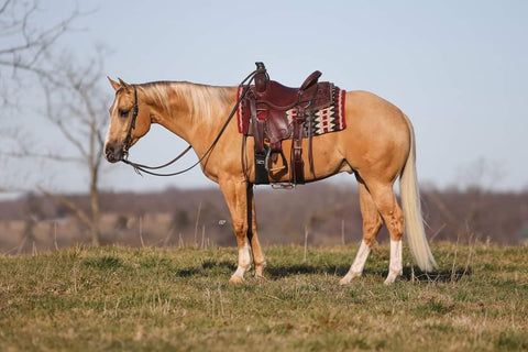 #25 Zips All In Gold 4 year old aqha gelding