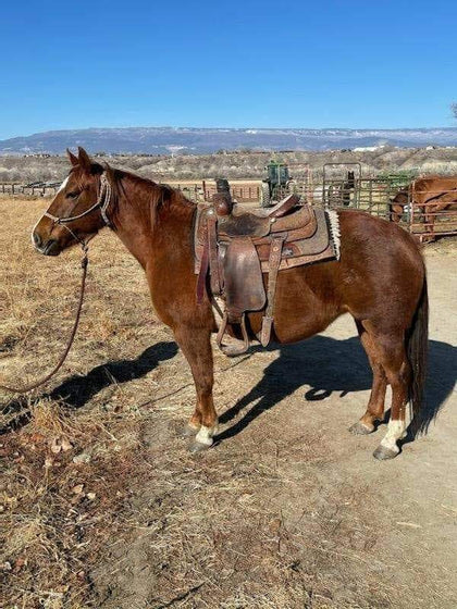 #41 Cat 7 year old AQHA mare