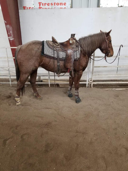 #49 Rosie 4 year old AQHA Mare