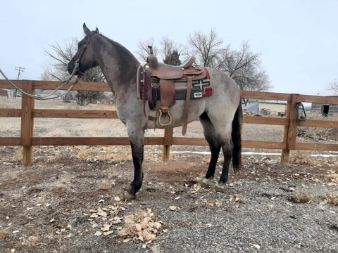 #01 Shyloh 3 year old AQHA STUD