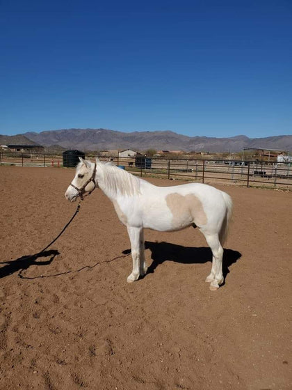 #40X Stuart little 6 year old gelding