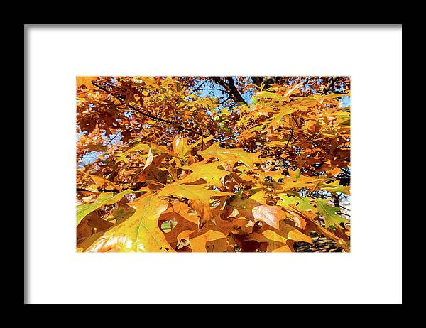 Golden Autumn Leaves - Framed Print