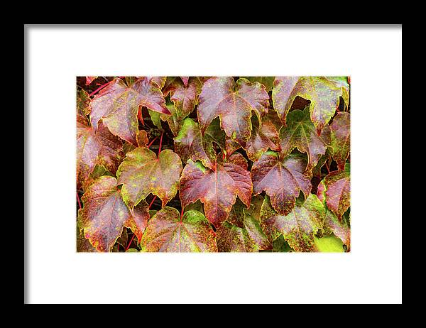 Grape Leaves - Framed Print