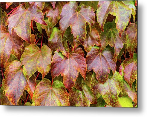 Grape Leaves - Metal Print