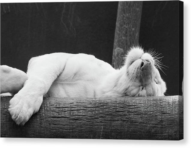 Tiger Dreams - Canvas Print