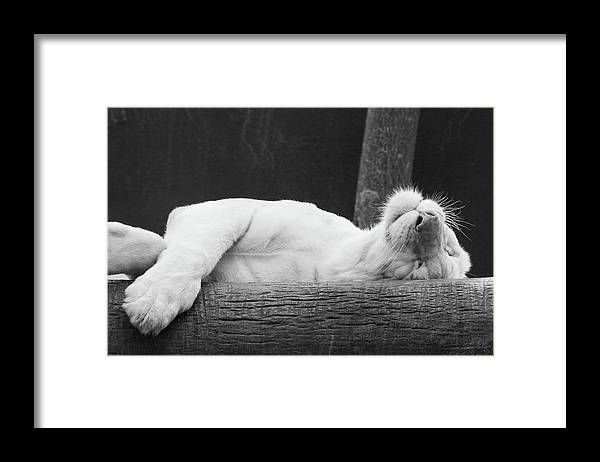 Tiger Dreams - Framed Print