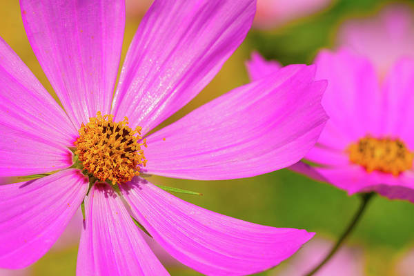 Wild Purple Daisy Pair - Art Print