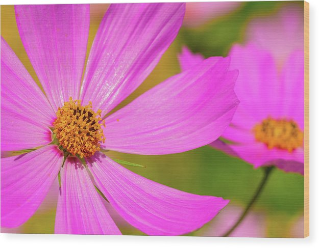 Wild Purple Daisy Pair - Wood Print