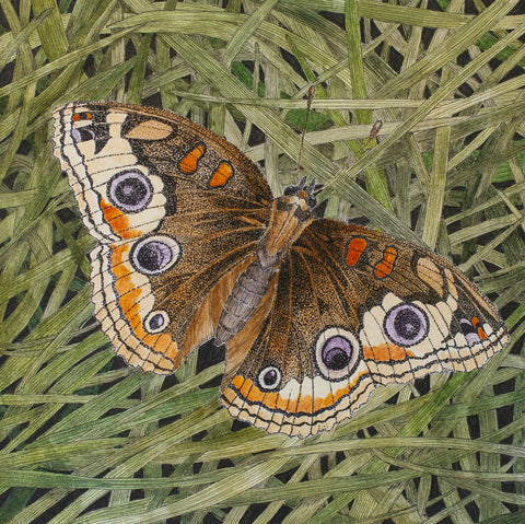 Saraya Cheney-Junonia coenia (Common Buckeye Butterfly)