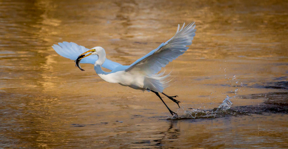Phil Dunn - Great White Egret