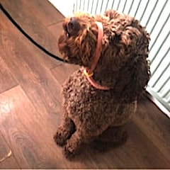 Labradoodle dog wearing a Canny Collar while sitting