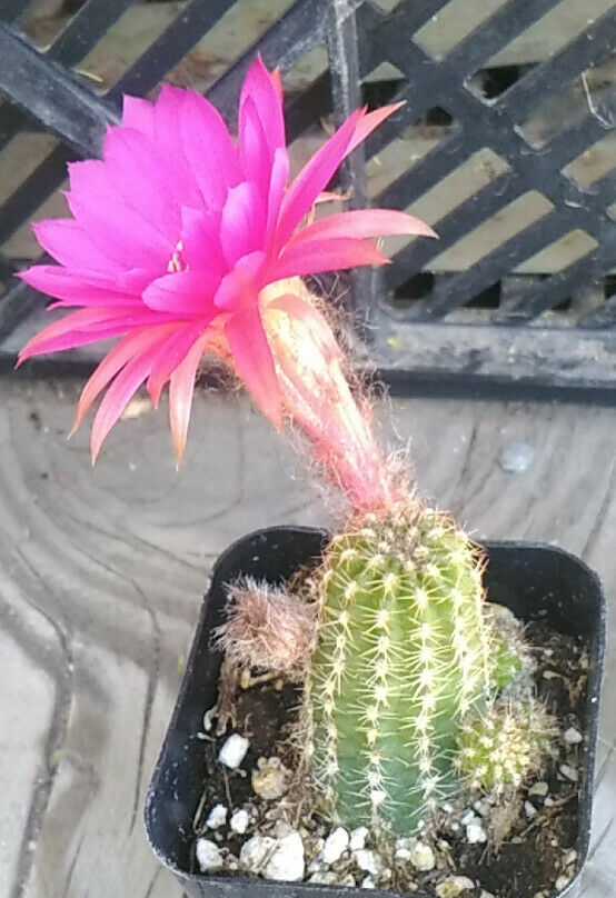 Chamaecereus Lady in Pink Clumping Miniature Cactus Bright Flowers 52