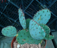 Load image into Gallery viewer, Opuntia macrocentra Red Needle Spines Cold Hardy Cactus Whole Plants