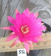 Load image into Gallery viewer, Chamaecereus Lady in Pink Clumping Miniature Cactus Bright Flowers 52