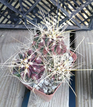 Load image into Gallery viewer, Ferocactus hamatacanthus Texas Fish Hook Central Spines Barrel Cactus