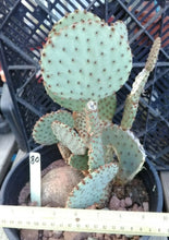 Load image into Gallery viewer, Opuntia rufida Clock Face Cactus 80 Whole Plant All Pads Included