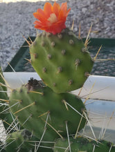 Load image into Gallery viewer, Opuntia paraguayensis Compact Dark Green Cactus Plant with Orange Flowers