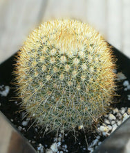 Load image into Gallery viewer, Mammillaria pilcayensis Golden Pin Cushion Cactus Pink Flowers 157