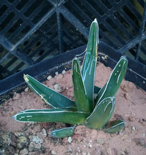 Load image into Gallery viewer, Agave ferdinand regis King of Agaves Tricuspid Terminal Spines