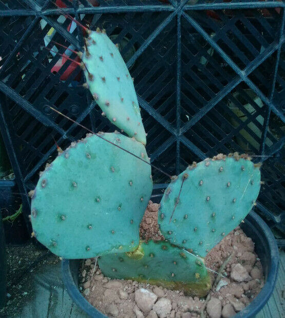 Opuntia macrocentra Red Needle Spines Cold Hardy Cactus Whole Plants