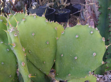 Load image into Gallery viewer, Opuntia cv. Desert Ace Medium Round Green Pads Minimal Spines 1 Pad