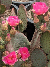 Load image into Gallery viewer, Opuntia basilaris x Santa Rita = Beaverita Pink Fruit Cactus 1 Pad