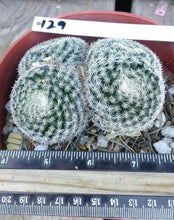 Load image into Gallery viewer, Mammillaria perbella Clumping Compact Cactus Small Deep Pink Flowers