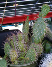 Load image into Gallery viewer, Opuntia rhodantha Grand Mesa Peach Cold Hardy Prickly Pear Cactus 1 Pad