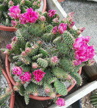 Load image into Gallery viewer, Opuntia cv. Mini Green Has Pink Flowers Cactus 1 Section