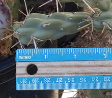 Load image into Gallery viewer, Cylindropuntia fulgida Chain Fruit Cholla Cactus 1 Section