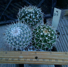 Load image into Gallery viewer, Mammillaria Assorted Unkown Species and Hybrids