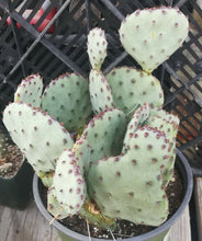 Load image into Gallery viewer, Opuntia cv. Sapphire Wave Mini Blue Purple 1 Pad Prickly Pear