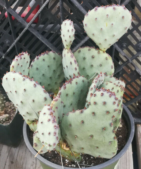 Opuntia cv. Sapphire Wave Mini Blue Purple 1 Pad Prickly Pear