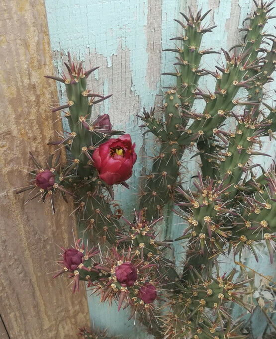 Cylindropuntia versicolor Long Section Cholla Cactus Deep Red Flower 1 Section