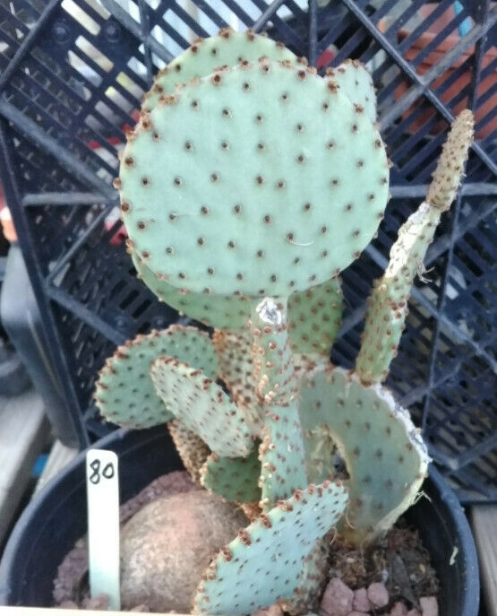 Opuntia rufida Clock Face Cactus 80 Whole Plant All Pads Included