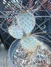 Load image into Gallery viewer, Opuntia macrocentra Extra Long Spines Cold Hardy Cactus Whole Plant