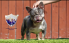 "French Bull Dog ""Sancho"" - Stud"